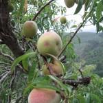 Peaches?
