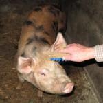 pig2012may